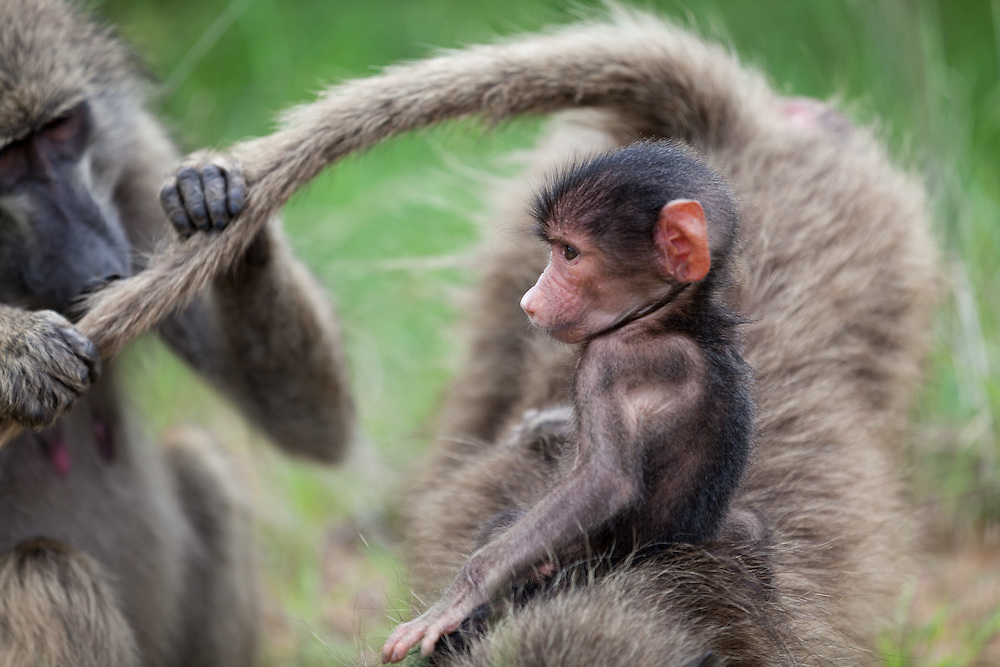 Baboon baby on mother's back while another grooms in the background. Kruger park, South Africa.