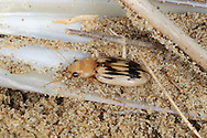 Beachcomber or Strandline Beetle - Eurynebria complanata