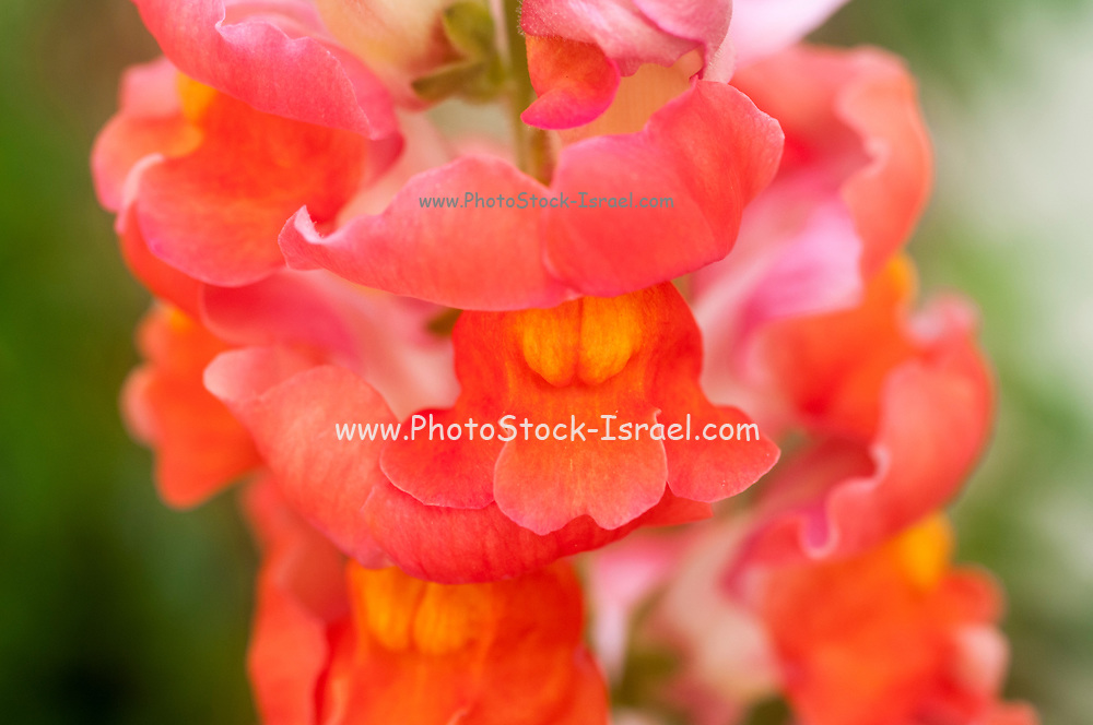 Flowering Antirrhinum flower commonly known as Snapdragon.
