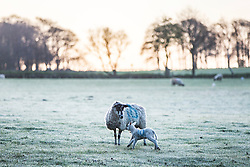 © Licensed to London News Pictures. 19/04/2016. Leeds UK. A lamb run's around it's mother in a frost covered field in Leeds at first light this morning.  Photo credit: Andrew McCaren/LNP