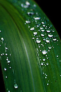 Raindrops on a leaf in Hawaii