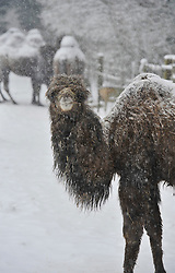 © Licensed to London News Pictures. 18 January 2013. Burford Oxfordshire. Snow hits Oxfordshire today. Camel at the Cotswold Wild Life Park near Burford braves the snow. Photo credit : MarkHemsworth/LNP