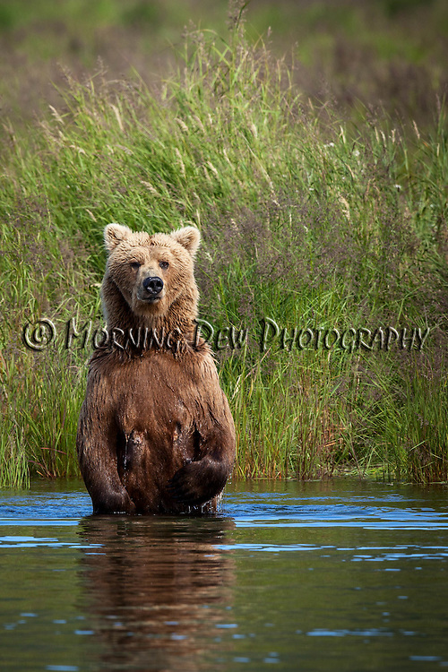 A brown bear sow stands up to check for dangers before fishing in Brooks River, Katmai National Park, Alaska