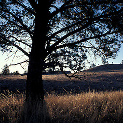 A ponderosa pine on the mixed-grass prairie of Wind Cave National Park in South Dakota.