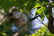 An azure-winged magpie (Cyanopica cyanus) in trees in Izumi no Mori park, Yamato, Kanagawa, Japan. Thursday May 14th 2020