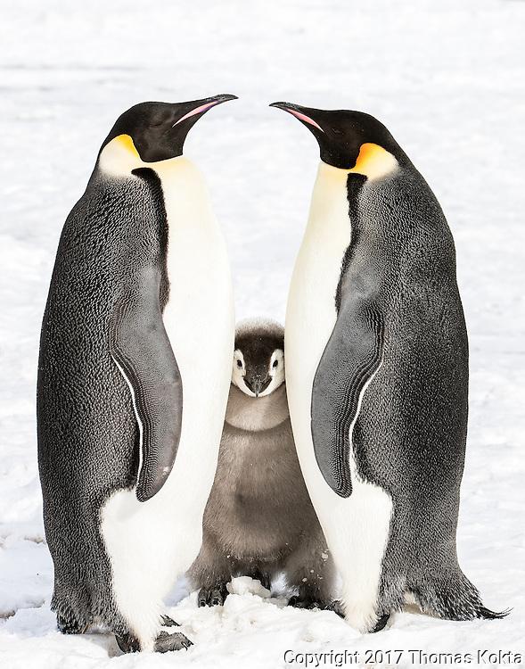 Emperor penguin chick standing between two adults.
