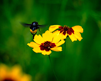Black Bee covered with Yellow Pollen. Image taken with a Fuji X-T3 camera and 100-400 mm OIS lens