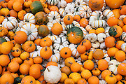 Pumpkins and squash for sale at a Farmers Market in Seattle, Washington. Missoula Photographer