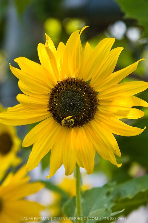 A pollen-laden bee on a sunflower...
