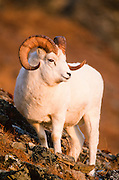 Alaska. Dall Sheep. Ovis dalli. Dall sheep are found in relatively dry country and try to stay in a special combination of open alpine ridges, meadows, and steep slopes with extremely rugged ground in the immediate vicinity, in order to escape from predators that cannot travel quickly through such terrain.