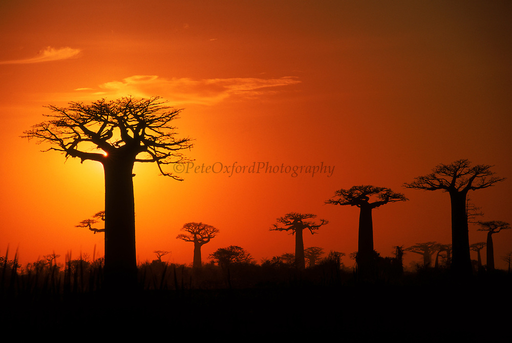 Boabab trees (Adansonia grandidieri) silhouetted at sunset. <br /> Avenue or Alley of the Baobabs is a prominent group of baobab trees lining the dirt road between Morondava and Belon'i Tsiribihina in the Menabe region in western Madagascar.<br /> Madagascar