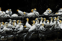 Gannets on the Isle of Noss in the Shetland Islands