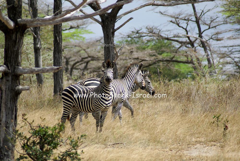 Tanzania wildlife safari A Herd of Zebras
