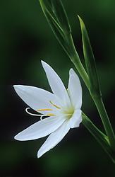Schizostylis coccinea var. alba - Kaffir lily. syn. Hesperantha coccinea