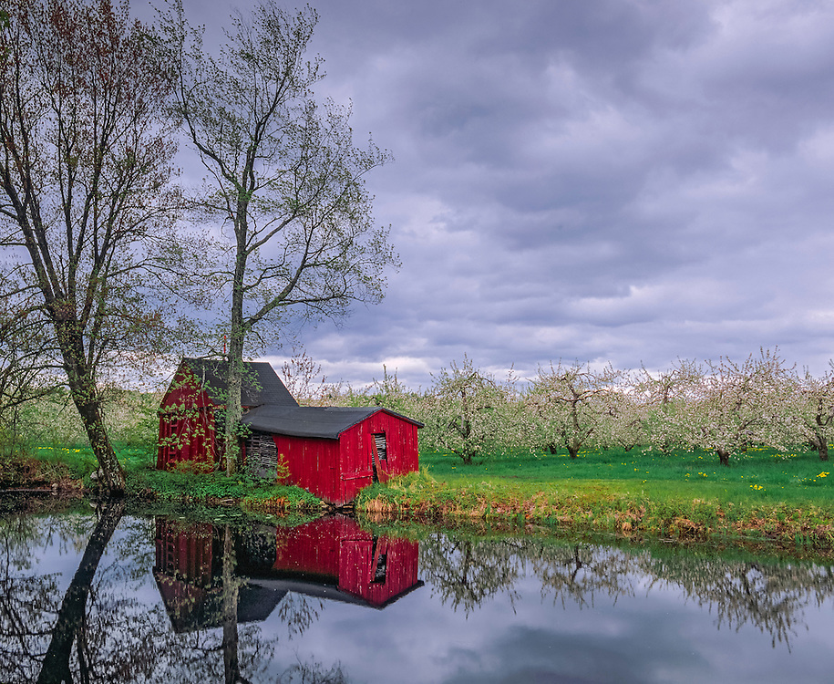 Apple barn & orchard blooming in spring with pond reflection, Hollis, NH
