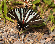 A Zebra Swallowtail feeding on a clover in Manassas National Battlefield Park