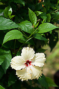 Thailand, Ko Hai. Blossom.