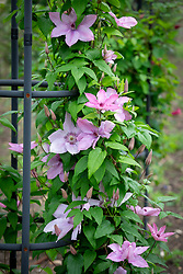 Clematis 'Hagley Hybrid' (trial should have been Clematis viticella 'Hagelby Pink' AGM)