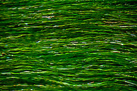 Beautiful texture formed by green aquatic grass flowing in a stream in Provence, France.