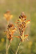 King's Spear or Yellow Asphodel, Asphodeline lutea, Israel