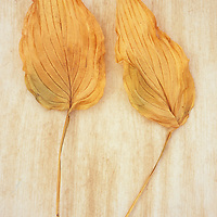 Two dried yellow leaves of Hosta fortunei Albopicta or Plantain lily lying on rough background