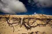 Porto Seguro_BA, Brasil...Raizes das plantas na areia da praia em Trancoso...Plants roots on the sand beach in Trancoso...Foto: LEO DRUMOND / NITRO