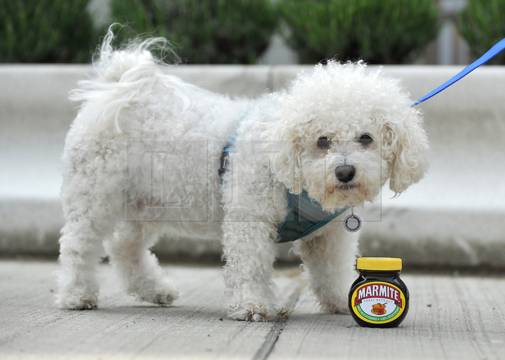 """© under license to London News Pictures. LONDON, UK  06/05/2011. Bichon Frise, Mario looking at a pot of Marmite. Dogs Enjoying Marmite at Battersea Dogs and Cats Home today (06 May 2011). 100 Jars were delivered to the home as part of a prize. You either love it or hate it, but at Battersea, marmite is causing quite a stir amongst the dogs. Jars of the yeast extract, which has polarised the nation into lovers and haters, are polished off in no time by Battersea's canine residents who have developed quite a taste for the spread. Today 100 of the famous yellow topped glass jars will cause tails to wag in the kennels when they are delivered to the Home. The year's supply of Marmite is a rather unusual, but very welcome prize to Battersea Chief Executive Claire Horton who will be presented with one of the first ever Dogs Today Endal Awards for Services to Animals. Claire Horton who requested the prize for the dogs, in favour of the usual dog food awarded,  commented: """"Battersea dogs definitely 'love it' when it comes to Marmite. We like to provide our dogs with lots of different activities throughout the week to try and help them cope better in a kennel environment. One of the dogs' favourites is licking Marmite from chew toys - it keeps them entertained for hours."""" Claire will be presented with her Endal Award by Marmite Brand Manager David Titman at the 2011 London Pet Show, taking place at Kensington Olympia, tomorrow, Saturday 7th May.Photo credit should read Stephen Simpson/LNP."""