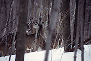 as I was riding my snowmobile, I came across a group of deer.  They were cautious, but did not spook.  I took the photo and continued on my way,without startling them.
