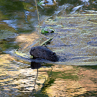 A wild Eurasian Beaver swims in the River Tay near Dunkeld in Perthshire taking food back to it's lodge…07.06.17<br />It is estimated that some 250 wild beavers have made their home in the River Tay/River Earn catchment areas. The Eurasian beaver, Castor fiber, was hunted to extinction in Scotland 400 years ago for their fur and a galndular oil (castoreum). The beavers in Tayside have been in the area since at least 2006, and originate either from escapes or deliberate releases from private collections. Beavers are completely vegetarian. They do not eat fish but instead prefer to munch on aquatic plants, grasses and shrubs during the summer months and woody plants in winter. <br />Picture by Graeme Hart.<br />Copyright Perthshire Picture Agency<br />Tel: 01738 623350  Mobile: 07990 594431