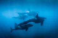 Orcinas orca (Orca/Killer Whale)