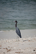 This is a photograph of a Little Blue Heron on the beach in Naples, Florida.