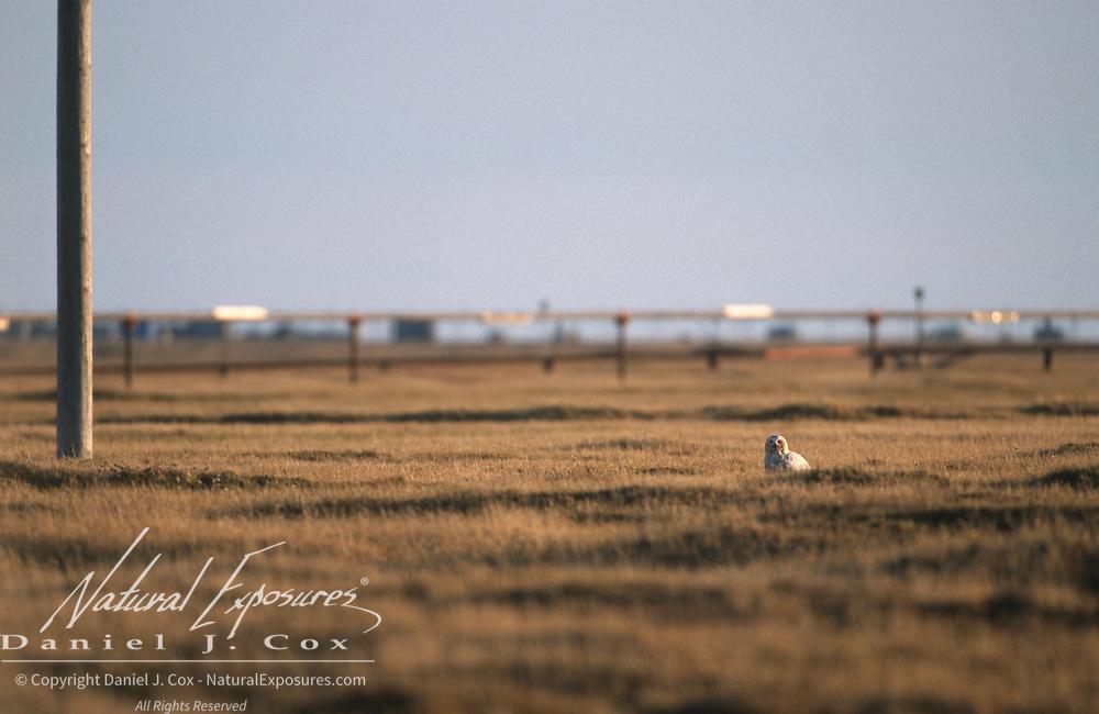 Snowy Owl (Bubo scandiacus) hunting near a pipeline. Barrow, Alaska