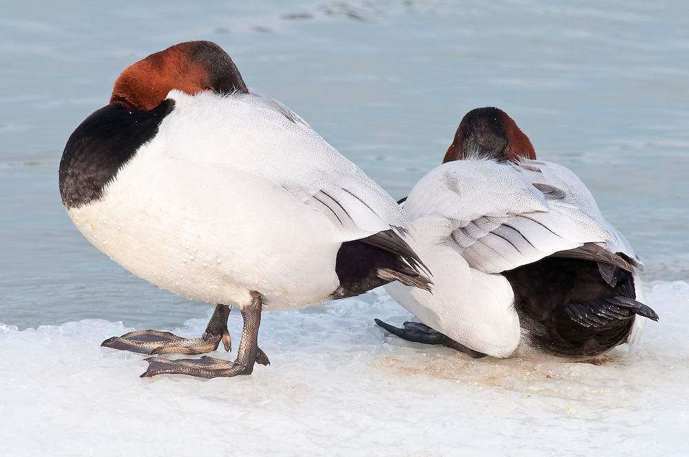 Canvasback, Aythya valisineria, male, Detroit River, Ontario, Canada
