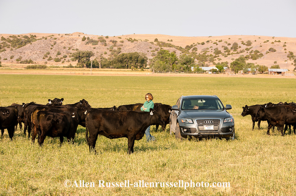 Woman, rancher, Black Angus cattle, ranch, Montana.
