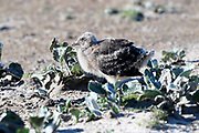 A Skua chick on Saunders Island on Sunday 4th February 2018.