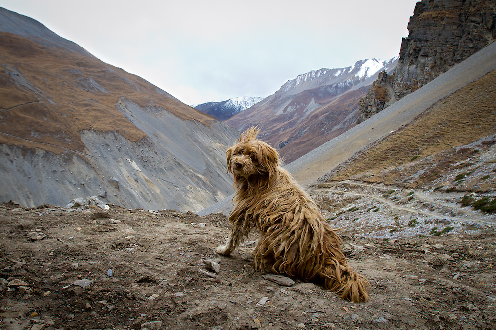 Allegedly this old dog, with his knotted fur has crossed the 5416m (17,769ft) Thorung La pass hundreds of times during his life. He spends his time in villages on either side of the pass, crossing back and forth looking for handouts.