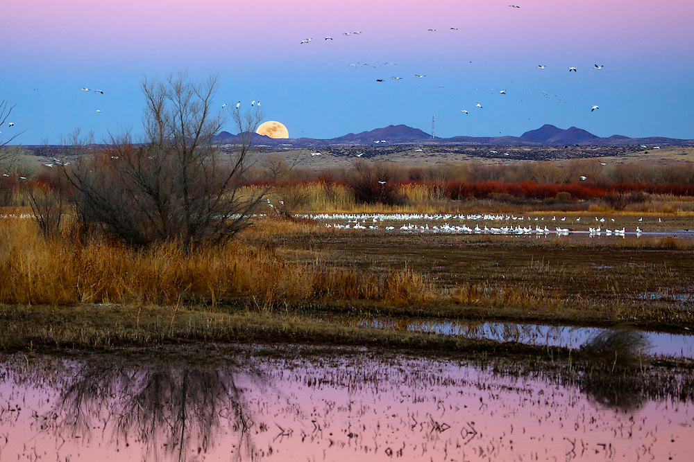 Sunset moon rise over the Bosque del Apache Wildlife Refuge, San Antonio, New Mexico