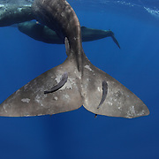 Close-up view of a sperm whale's fluke in the water, with several remoras attached