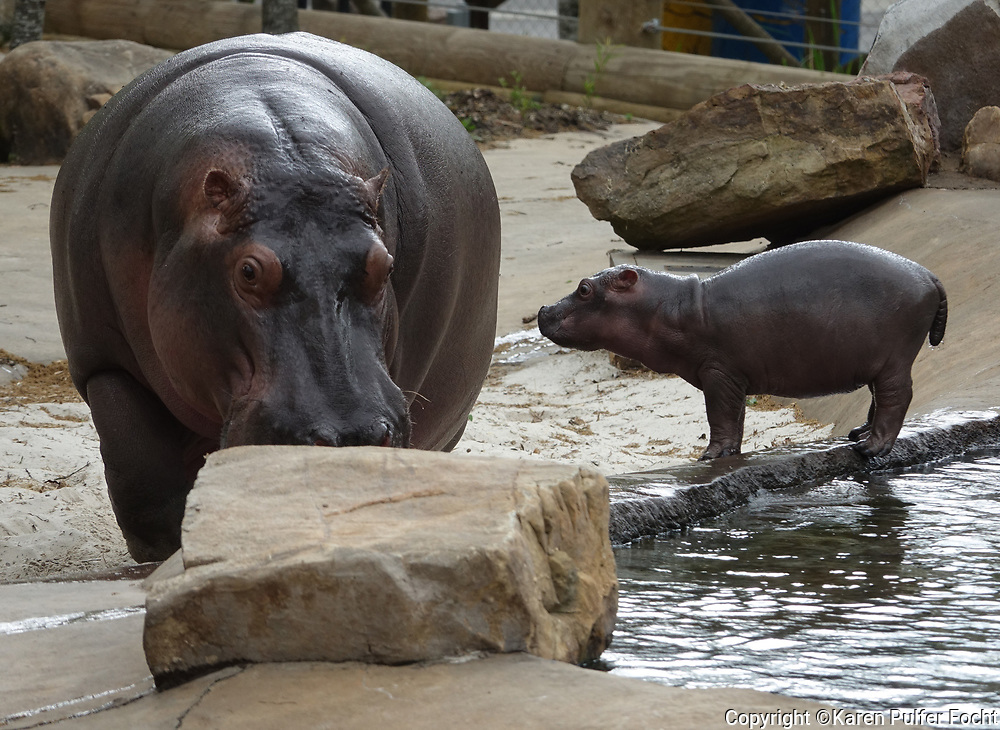 """Binti,"" a Nile hippopotamus, gave birth to a healthy, 76-pound baby girl on March 23, 2017 at the Memphis Zoo.""This is one of our most significant births in a long, long time,"" said Matt Thompson, Director of Animal Programs. ""It's also incredibly special – as Binti and her baby are carrying on our legacy of hippos in their brand-new home, Zambezi River Hippo Camp."" Memphis, was once called the ""Hippo Capital of the World."" Another hippo on exhibit, ""Splish"" was born on Christmas Day 1988, along with her twin, ""Splash."" The zoo would like help naming their new baby."