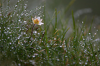 Alpine flower in the rain., Hohe Tauern National Park, Carinthia, Austria