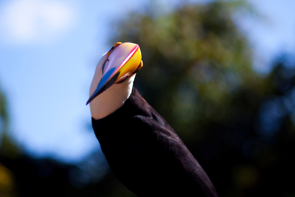 Nova Lima_MG, Brasil...Fauna na Reserva Ecologica de Fechos. Na foto um tucano-toco ( Ramphastos toco )...The animal of Fechos Ecological Reserve. In this photo a toco tucan ( Ramphastos toco )...Foto: JOAO MARCOS ROSA / NITRO