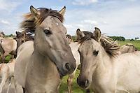 Konik horses. Oostvaardersplassen, Netherlands. Mission: Oostervaardersplassen, Netherlands, June 2009.