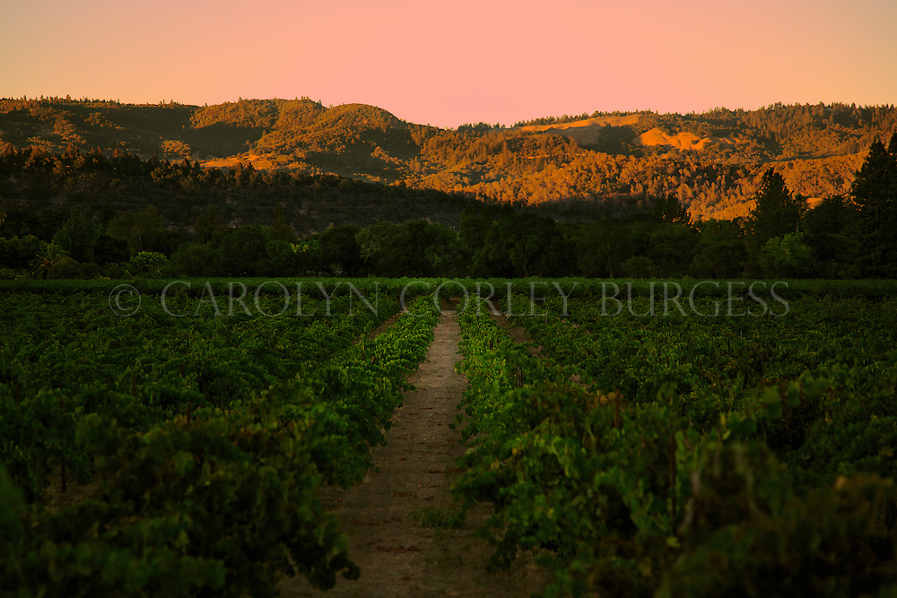 sunset in an old growth Napa Valley vineyard.