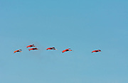 Scarlet Ibis flying in to roost at Caroni Nature Preserve on Trinidad island, Trinidad & Tobago.