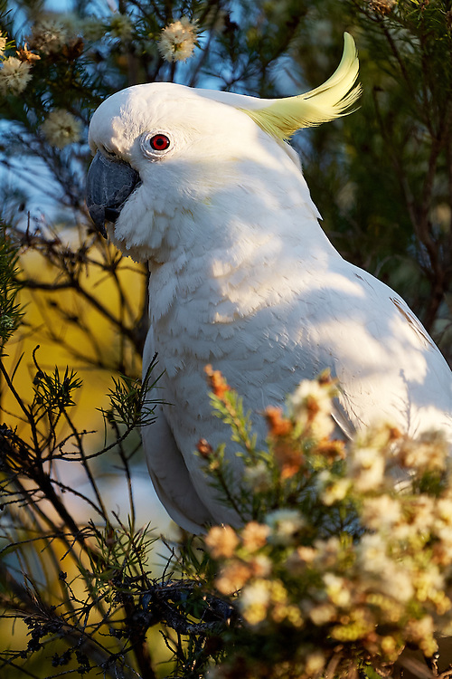 An Australian white sulphur crested Cockatoo perched in a wattle tree.