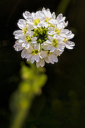 Hoary Alyssum - Berteroa incana invasive in the US. Native to Eurasia