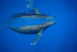 humpback whale, Megaptera novaeangliae, underwater, Hawaii, Pacific Ocean