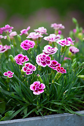 Dianthus 'Pink Kisses' in a container