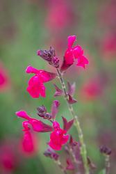 Salvia greggii Mirage Neon Rose