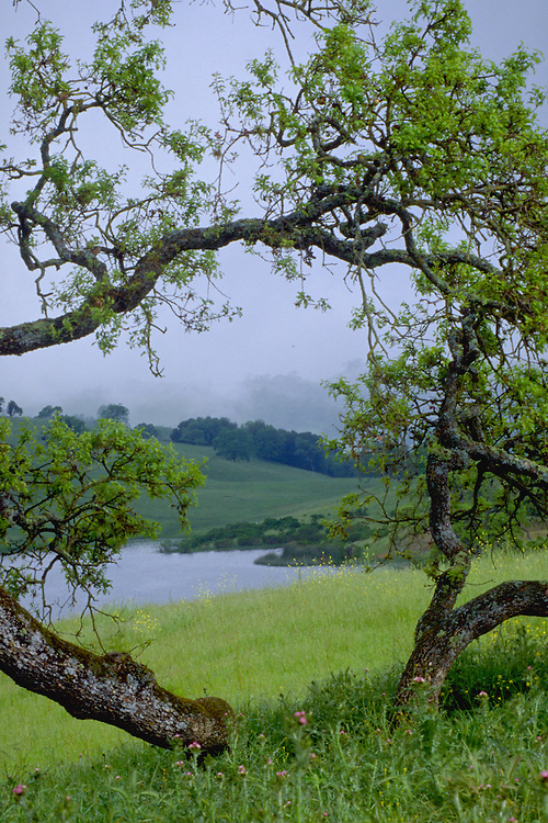 Oaks and grass with a pond, Joseph Grant County Park, on Mount Hamilton.